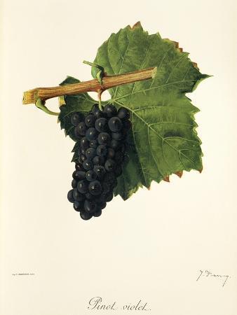 j-troncy-pinot-violet-grape