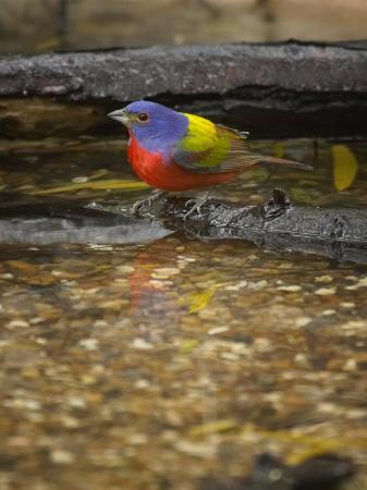jack-michanowski-painted-bunting-passerina-ciris-male
