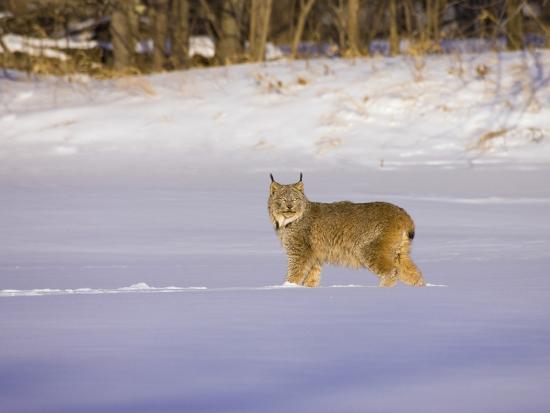 jack-milchanowski-eurasian-lynx-lynx-lynx-standing-in-the-snow