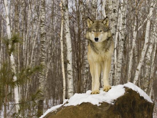 jack-milchanowski-gray-wolf-canis-lupus-on-rocks-northern-minnesota-usa