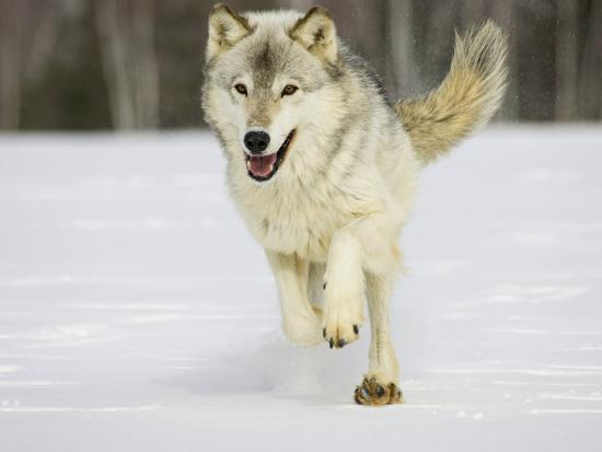 jack-milchanowski-gray-wolf-canis-lupus-running-in-the-snow-northern-minnesota-usa