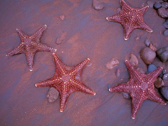 jack-stein-grove-sea-stars-on-red-sandy-beach-rabida-island-galapagos-islands-ecuador