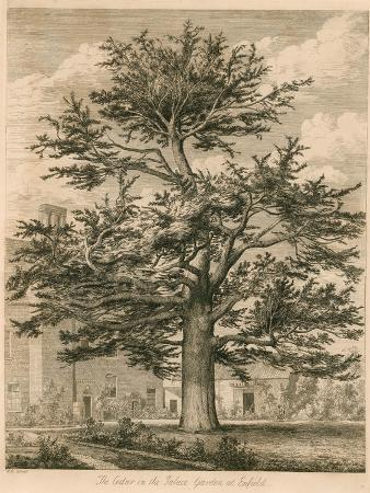 jacob-george-strutt-the-cedar-in-the-palace-garden-at-enfield-middlesex