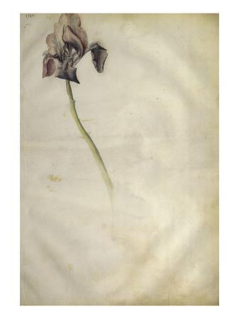 jacopo-bellini-un-iris