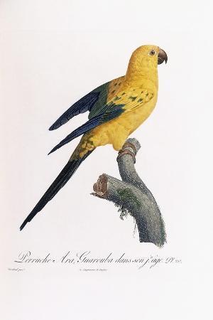 jacques-barraband-golden-parakeet-ara-guarouba-at-an-early-age