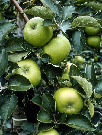 jacqui-hurst-apple-bramley-on-the-tree