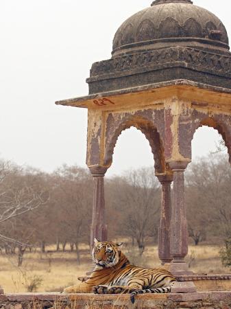 jagdeep-rajput-royal-bengal-tiger-at-the-cenotaph-ranthambhor-national-park-india