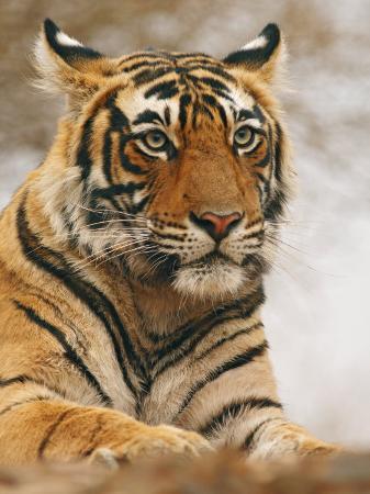 jagdeep-rajput-royal-bengal-tiger-watching-ranthambhor-national-park-india