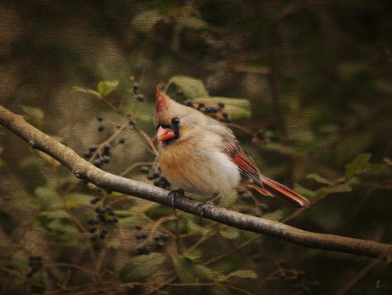 jai-johnson-anticipating-winter-cardinal-2