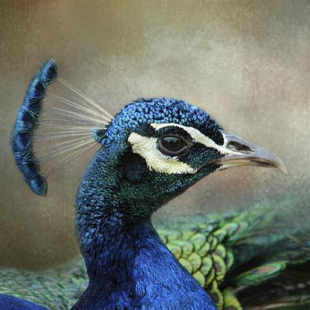 jai-johnson-peacock-3