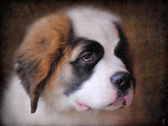 jai-johnson-saint-bernard-puppy-portrait