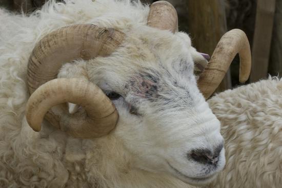 james-emmerson-dartmoor-sheep
