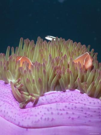 james-forte-solomon-islands-amphiprion-perideraion-anemonefish-clown-fish-close-up