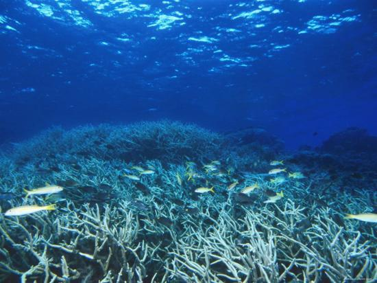 james-forte-yellowfin-goatfih-mulloides-vanicolensis-swimming-over-staghorn-coral