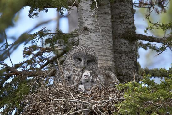james-great-gray-owl-great-grey-owl-strix-nebulosa-female-and-11-day-old-chicks