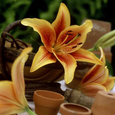 james-guilliam-still-life-of-orange-lilium-lily-first-crown-in-small-garden