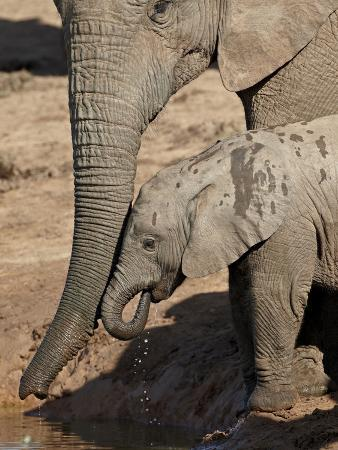 james-hager-african-elephant-loxodonta-africana-adult-supporting-a-baby-drinking-addo-elephant-national-park