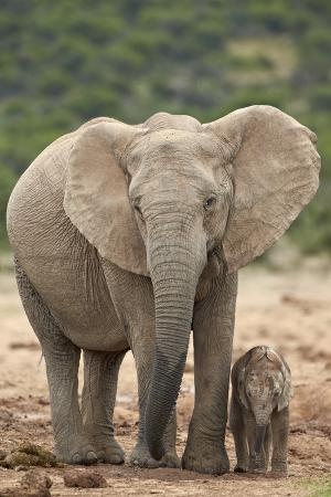 james-hager-african-elephant-loxodonta-africana-mother-and-baby