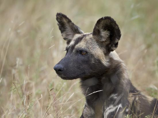 james-hager-african-wild-dog-african-hunting-dog-cape-hunting-dog-lycaon-pictus