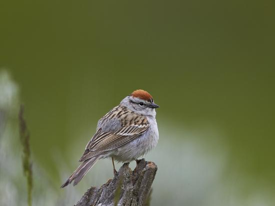 james-hager-american-tree-sparrow-spizella-arborea-yellowstone-national-park-wyoming-u-s-a