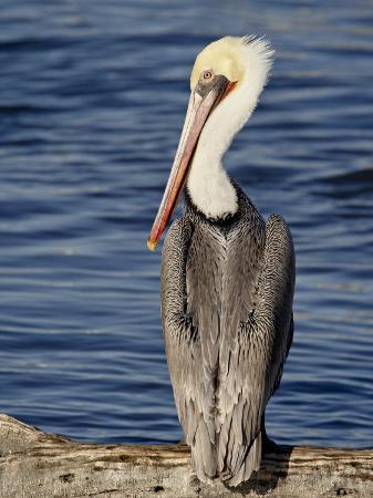 james-hager-american-white-pelican-sonny-bono-salton-sea-national-wildlife-refuge
