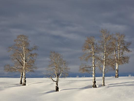 james-hager-aspen-trees-on-a-snow-covered-hillside-san-miguel-county-colorado-usa-north-america