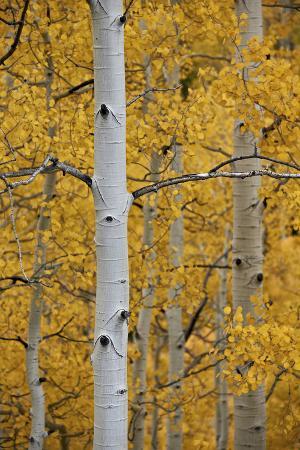 james-hager-aspen-trunks-among-yellow-leaves