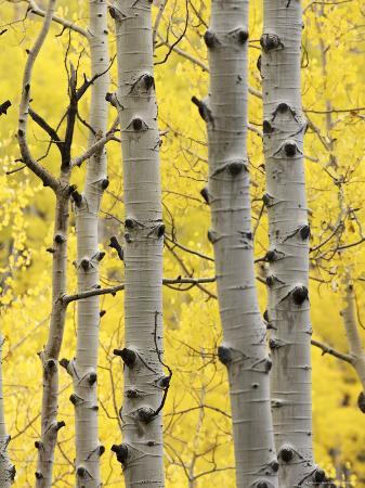 james-hager-aspen-trunks-and-fall-foliage-near-telluride-colorado-united-states-of-america-north-america