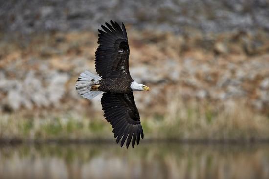 james-hager-bald-eagle-haliaeetus-leucocephalus-in-flight-yellowstone-national-park-wyoming-u-s-a