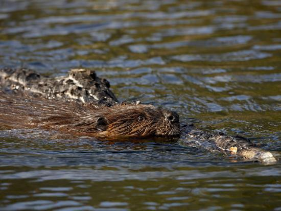 james-hager-beaver-castor-canadensis-swimming-with-food-denali-national-park-and-preserve-alaska-usa