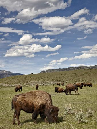 james-hager-bison-bison-bison-cows-grazing-yellowstone-nat-l-park-unesco-world-heritage-site-wyoming-usa