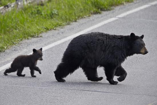 james-hager-black-bear-ursus-americanus-sow-and-cub-of-the-year-crossing-the-road-wyoming
