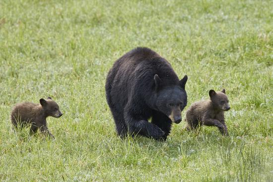 james-hager-black-bear-ursus-americanus-sow-and-two-chocolate-cubs-of-the-year-or-spring-cubs-wyoming