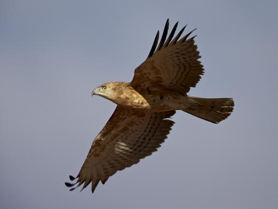 james-hager-black-breasted-snake-eagle-black-chested-snake-eagle-circaetus-pectoralis-in-flight