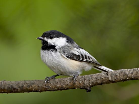 james-hager-black-capped-chickadee-poecile-atricapillus-wasilla-alaska-usa
