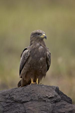 james-hager-black-kite-milvus-migrans-ngorongoro-crater-tanzania-east-africa-africa
