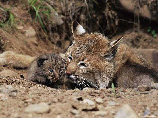james-hager-bobcat-lynx-nufus-mother-with-21-day-old-kittens-in-captivity-sandstone-minnesota-usa