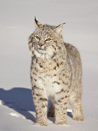 james-hager-bobcat-lynx-rufus-in-the-snow-in-captivity-near-bozeman-montana-usa