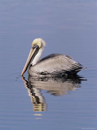 james-hager-brown-pelican-pelicanus-occidentalis-j-n-ding-darling-national-wildlife-refuge-florida