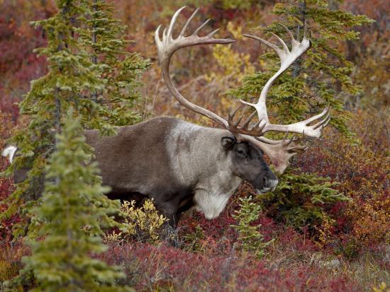 james-hager-bull-porcupine-caribou-grant-s-caribou-rangifer-tarandus-granti-denali-national-park-alaska