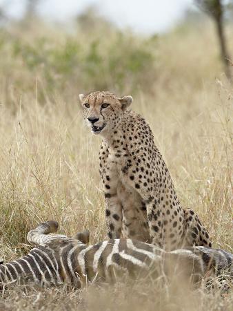 james-hager-cheetah-acinonyx-jubatus-at-a-zebra-kill-kruger-national-park-south-africa-africa