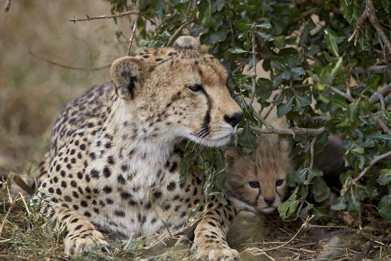 james-hager-cheetah-acinonyx-jubatus-mother-and-cub