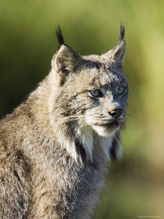james-hager-close-up-of-a-lynx-lynx-canadensis-sitting-in-captivity-sandstone-minnesota-usa