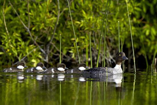 james-hager-common-goldeneye-bucephala-clangula-female-swimming-with-four-chicks-british-columbia-canada