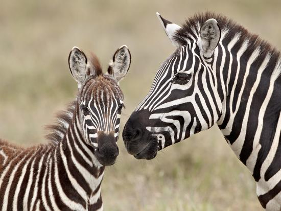 james-hager-common-zebra-or-burchell-s-zebra-equus-burchelli-foal-and-mare-serengeti-national-park-tanzania