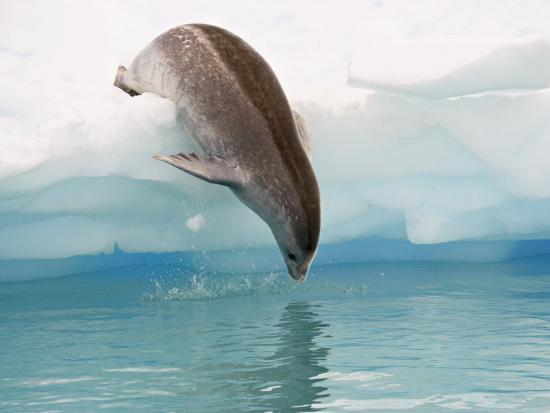 james-hager-crabeater-seal-diving-into-water-from-an-iceberg-pleneau-island-antarctic-peninsula-antarctica
