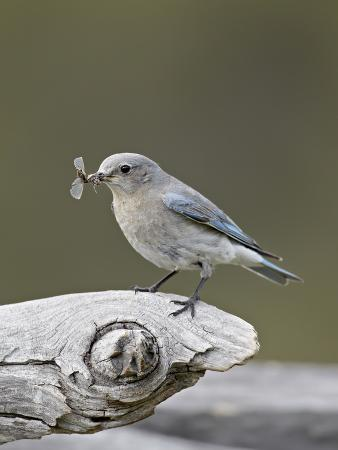 james-hager-female-mountain-bluebird-sialia-currucoides-with-an-insect-yellowstone-nat-l-park-wyoming-usa