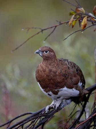 james-hager-female-willow-ptarmigan-denali-national-park-and-preserve-alaska-united-states-of-america
