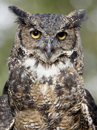 james-hager-great-horned-owl-bubo-virginianus-in-captivity-wasilla-alaska-usa