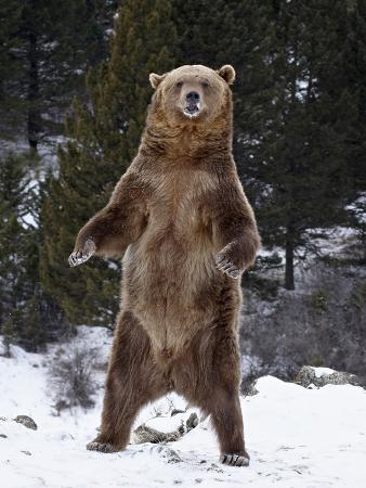 james-hager-grizzly-bear-ursus-arctos-horribilis-standing-in-the-snow-near-bozeman-montana-usa
